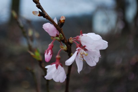 桜ヶ池エコビレッジ桜満開プロジェクトに130人参加